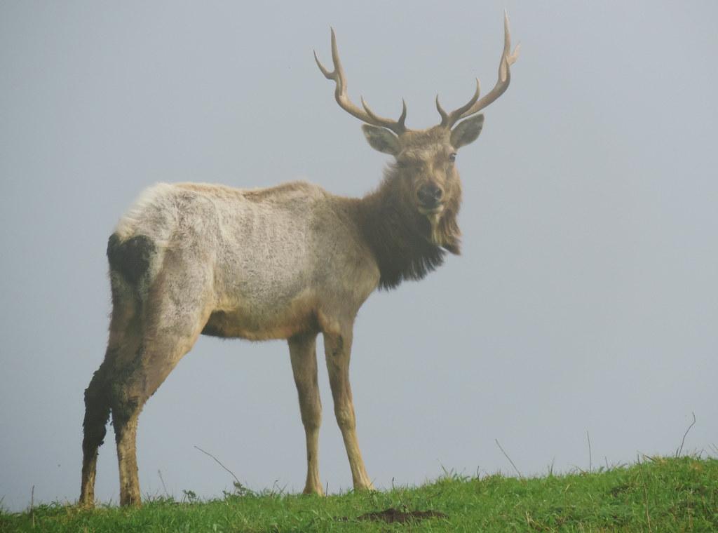 Tule Elk Preserve, Point Reyes National Seashore, California, USA