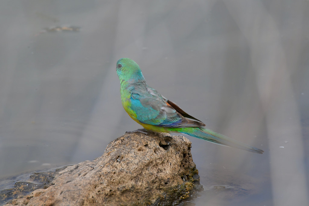 Red-rumped Parrot ( male )