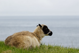 Grass, sheep, and sea | by llondru
