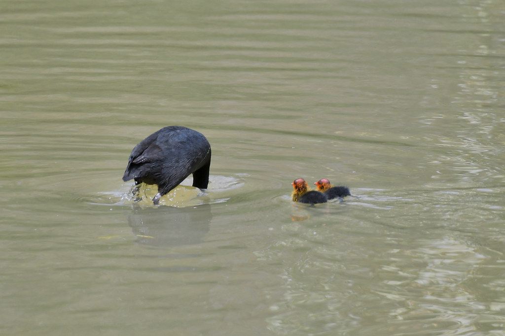 Eurasian Coots ( this is how its done )