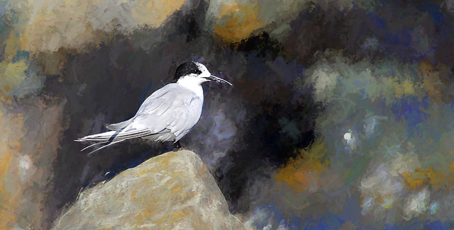 Tern in the Coromandel - New Zealand