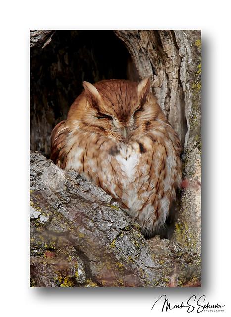 Eastern Screech Owl (Rufous Morph) 2019 - No 2
