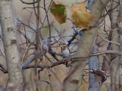 Rustic Bunting (Schoeniclus rusticus,  カシラダカ)