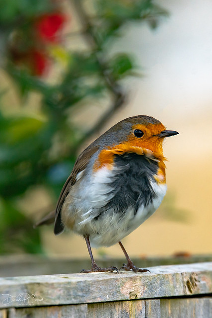 "Mr Robin, soaking up the icy breeze to reveal his dark feathered ""roots"" coming through....."