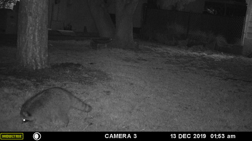 raccoon-20191213-102