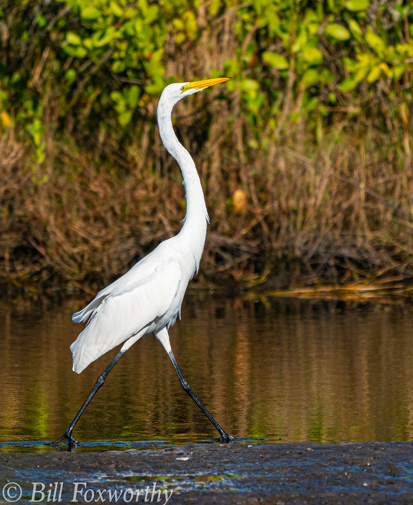 SONY-A9,    Great White Egret    03736 ,December 09, 2019