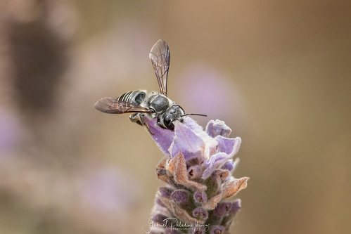 Megachile species | by Gabriel Paladino Photography