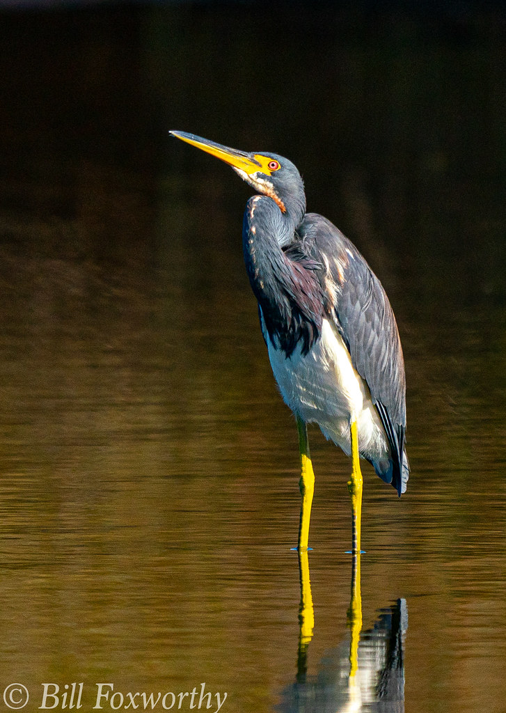 SONY-A9,    Tri Colored Heron     04316 ,December 09, 2019