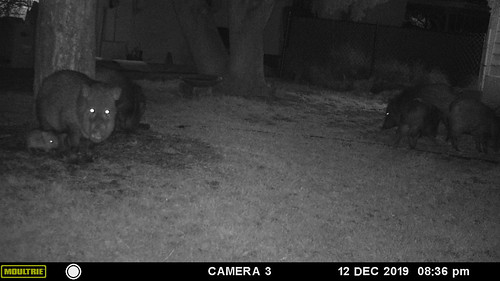 javelina_herd_with_baby-20191212-105