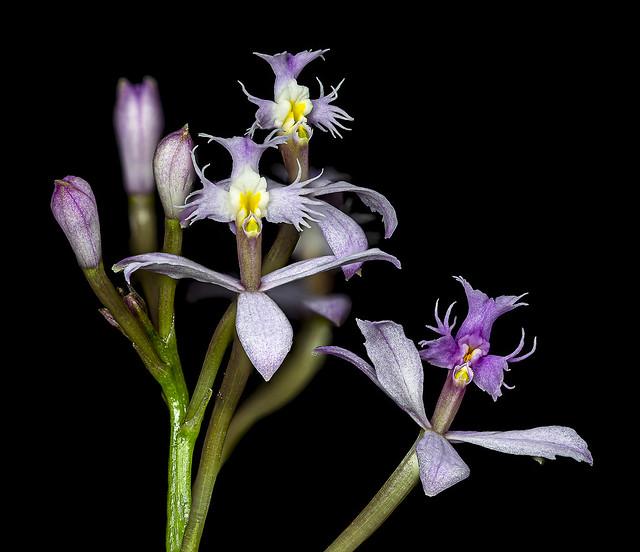 Epidendrum-spec-Paars