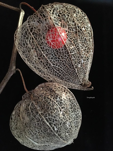 The skeleton of a physalis, found one my work.