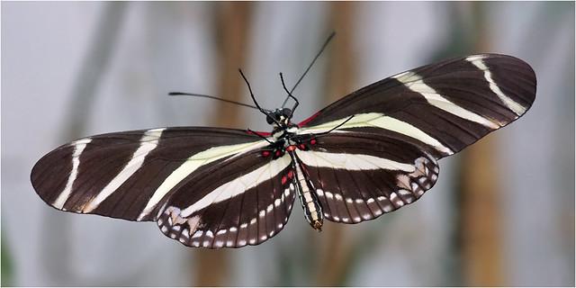 Underside Zebra Heliconian