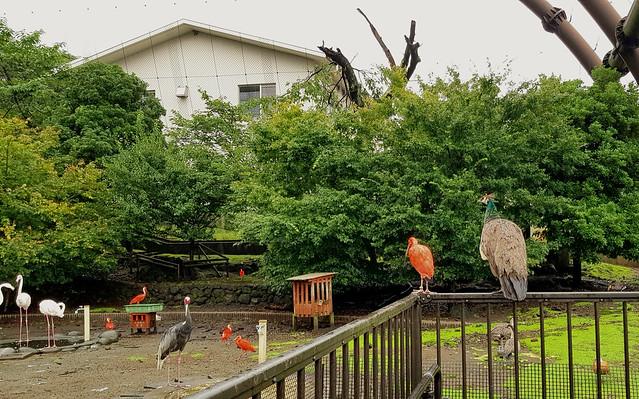 Flamingo, Ibis, Crane, Peafowl (female), geese, duck