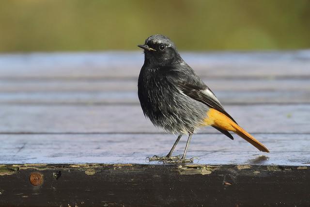 Rabirruivo preto - Phoenicurus ochruros - Black redstart