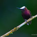 Male Snowcap Hummingbird Perched On A Thin Branch