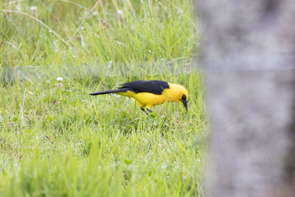 Gymnomystax mexicanus / Oriole Blackbird
