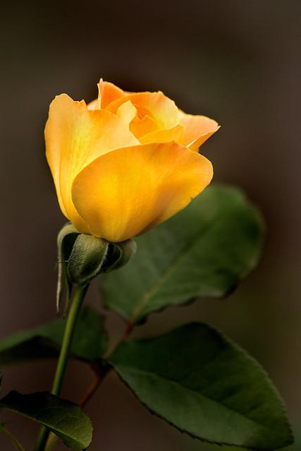 Yellow Rose of MD 3-0 F LR 10-12-19 J486