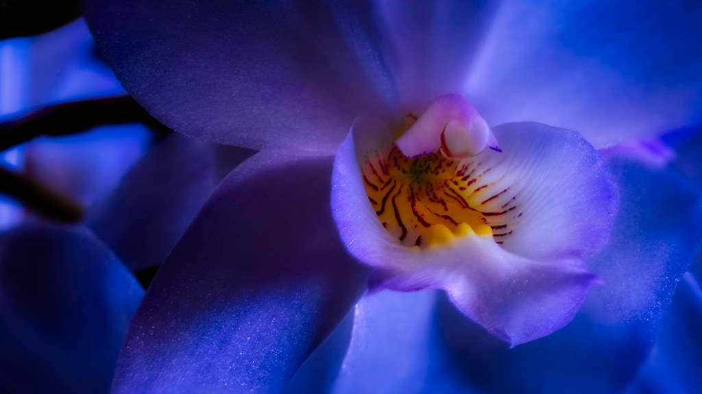 macro orchid photograph