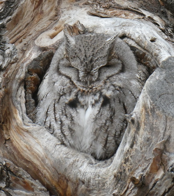 Hootie the Very Sleepy Screech Owl