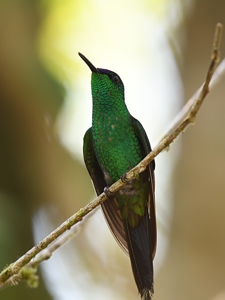 Violet-capped Woodnymph (male)