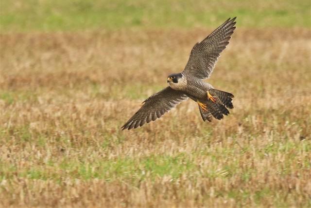 Peregrine falcon, (Falco peregrinus) Moor Lane Woodchurch