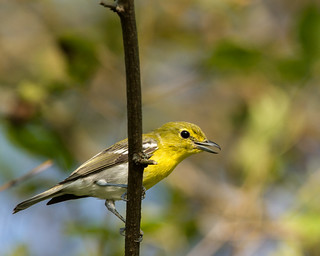 Yellow-Throated Vireo
