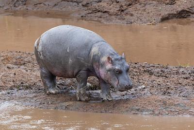 Baby Hippo on the Mara River