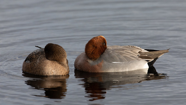 Wigeons afternoon nap