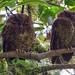 Bare-shanked Screech Owl / Petit-duc de Clark / See Costa Rica album
