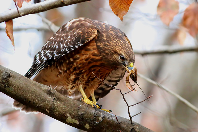 Red Shoulder Hawk with Crawfish