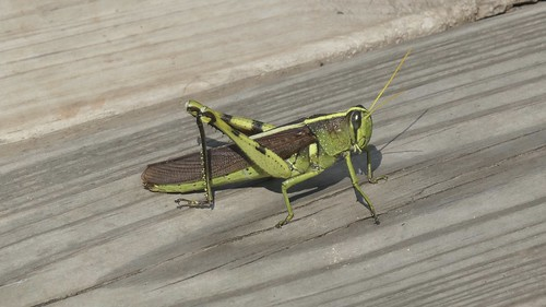 insect cullinanpark twostripegrasshopper wood boardwalk grasshopper