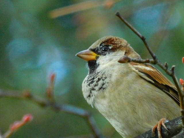 True sparrows