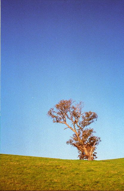 Tree - Barossa Valley