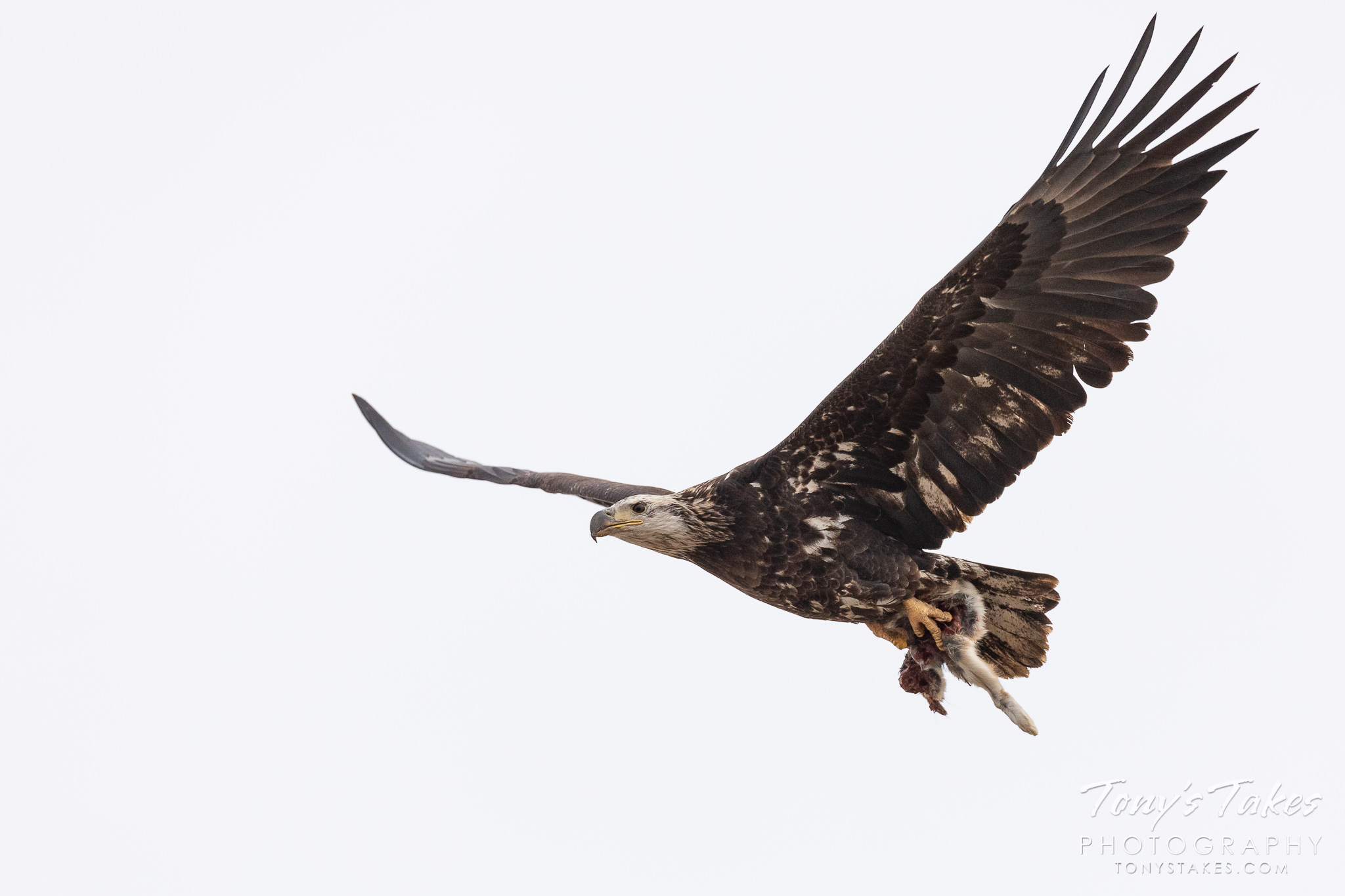 A young bald eagle flies by with a rabbit in its talons. (© Tony's Takes)