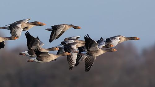 uk bird sunshine somerset levels catcottlows inflight goose anser anseranser greylag