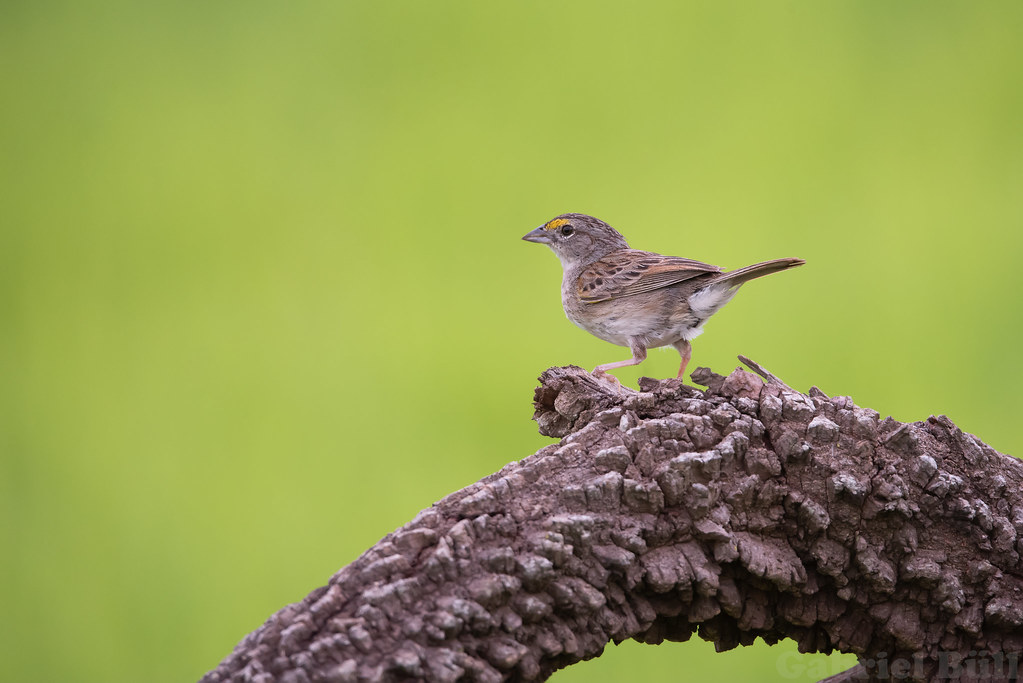 Grassland Sparrow - tico-tico-do-campo (Ammodramus humeralis)