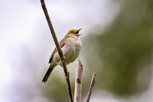 Yellow-browed Sparrow | by Marie-Ann D'Aloia