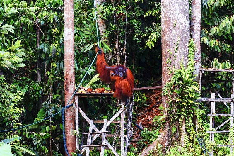 Kuching Semenggoh Wildlife Centre 1
