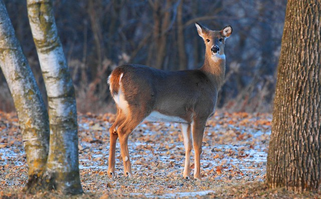 white-tailed deer doe at Lake Meyer Park IA 653A2438