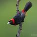 Crimson-collared Tanager Perched On A Dark Old Barked Branch