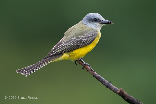 Tropical Kingbird Perched At The End Of A Branch With Insect Parts In Tip Of Beak