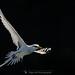 Paille-en-queue (Phaethon lepturus - White-tailed Tropicbird) - Ile de la Réunion