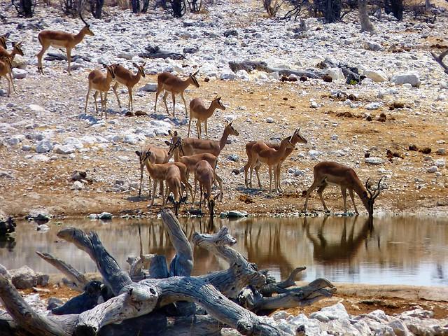 Namibia:  Impala at a waterhole in Etosha