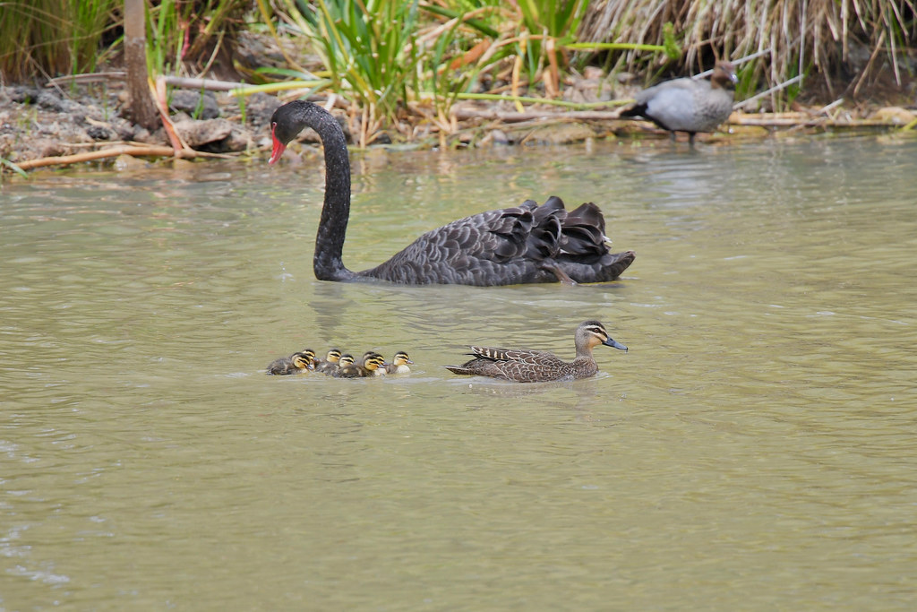 Black Swan and Pacific Black with Duckings