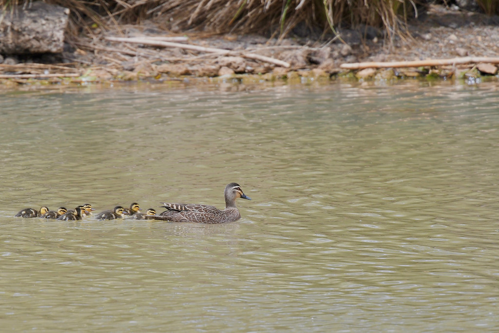 Pacific Black Duck and Duckings