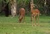 Impalas, Avani Resort, Victoria Falls, Livingstone, Zambia