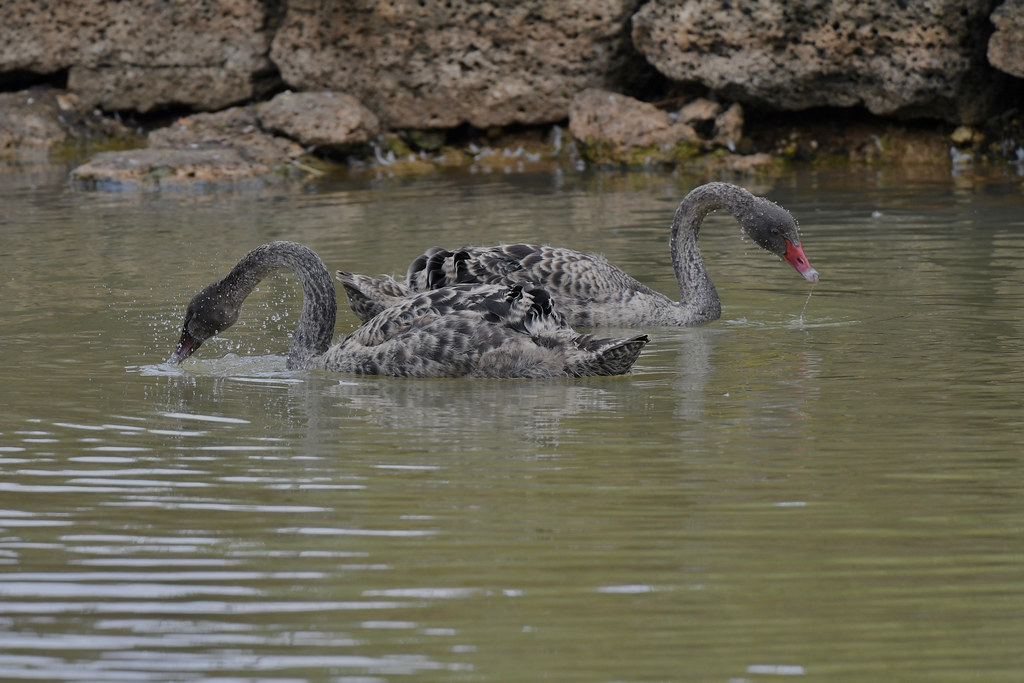 Black Swan  ( two of the five Cygnets )