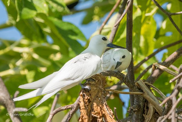 Fairy Tern with chick 501_8824.jpg