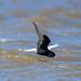 White-winged tern / Tígulþerna (Chlidonias leucopterus)