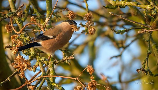 Bullfinch, female
